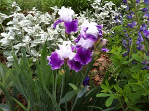 lamb's ear, iris and Baptista in J's garden last spring