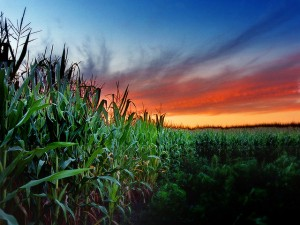 corn field, image credit: James Jordan